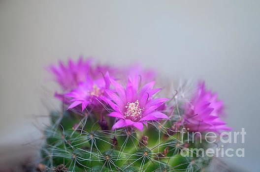 Bristle brush cactus Mammillaria spinosissima j5 by Humorous Quotes