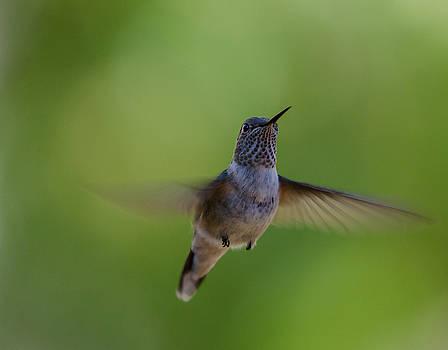 Broad-tailed Hummingbird by James Petersen