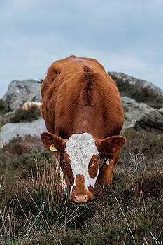 Brown and white cow at Baslow Edge by Scott Lyons