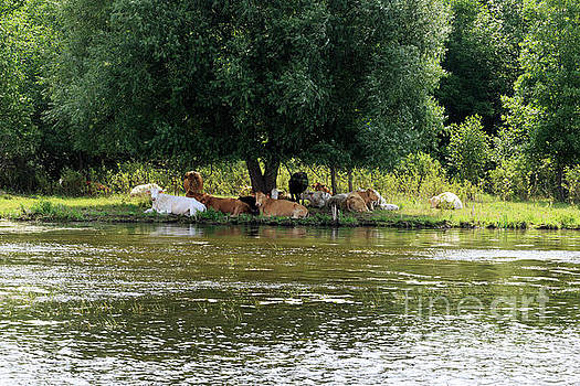 Brown and white cows rest in the shade beside the Rideau Canal by Louise Heusinkveld