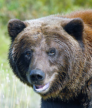 Brown Bear of Denali by Michelle Halsey
