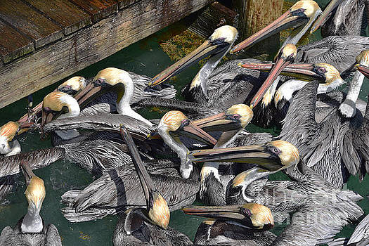 Brown Pelican Crowd by Catherine Sherman