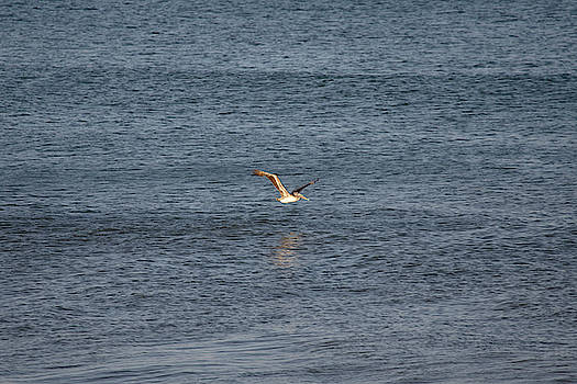 Brown Pelican on the Ocean 2 by David Stasiak