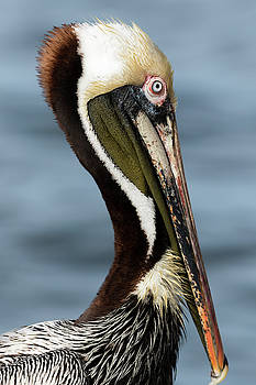Brown Pelican Portrait by Darrell Gregg