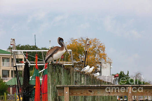 Dale Powell - Brown Pelican - Shem Creek