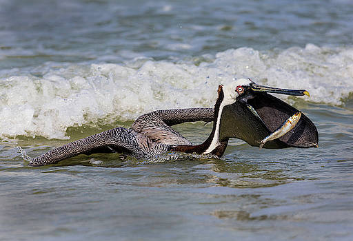 Brown Pelican with Catch by Jerry Fornarotto