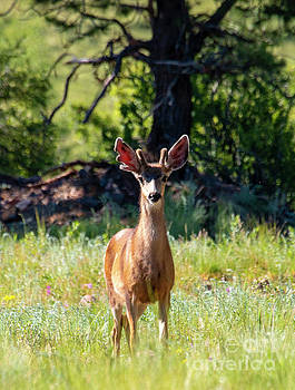 Buck Mule Deer in the Rockies by Steve Krull