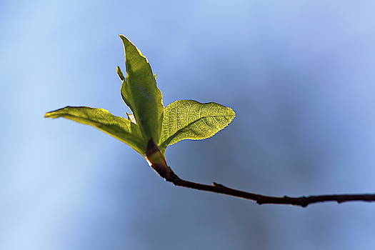 Budding green leaves i front of a blue spring sky 1 by Ulrich Kunst And Bettina Scheidulin