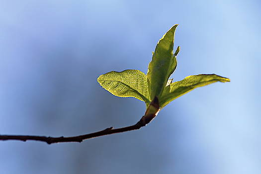 Budding green leaves i front of a blue spring sky 2 by Ulrich Kunst And Bettina Scheidulin