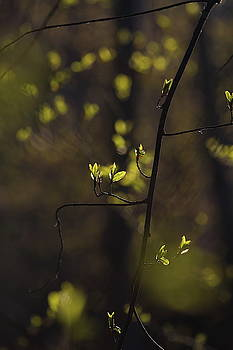 Budding leaves are glowing green in a sunny forest in spring 1 by Ulrich Kunst And Bettina Scheidulin