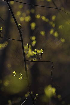 Budding leaves are glowing green in a sunny forest in spring 2 by Ulrich Kunst And Bettina Scheidulin