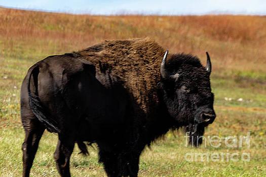 Buffalo by Carol Bilodeau