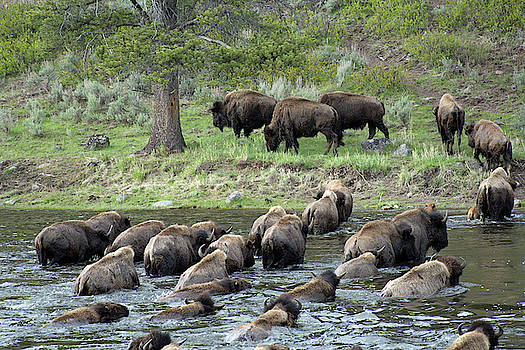 Buffalo Swimming Across the Madison River by Bruce Gourley