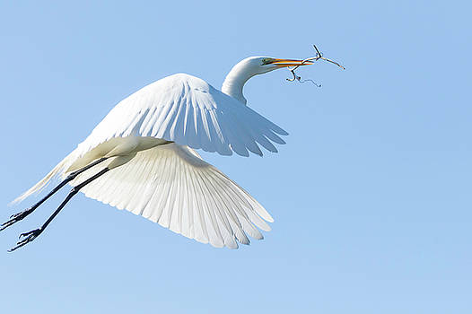 Great White Egret Building a Nest by Darrell Gregg