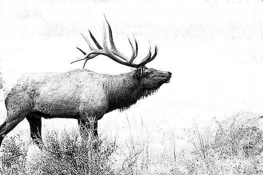 Bull Elk in Rut by Perspective Imagery