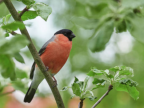 Bullfinch summertime by Jouko Lehto