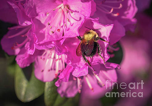 Bumble bee by Claudia M Photography