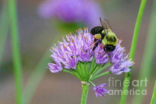 Bumble Bee on Lavender by Susan Rydberg