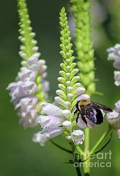 Bumblebee on Obedient Flower by Karen Adams