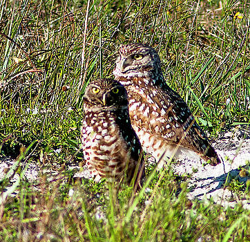 Burrowing Owl Pair by Norman Johnson