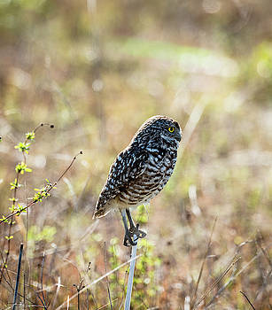Burrowing Owl by Sally Sperry