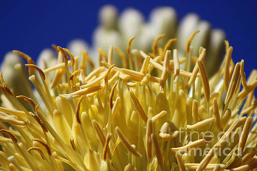 Butter Yellow Stamen of Century Plant on Ocean Blue by Colleen Cornelius
