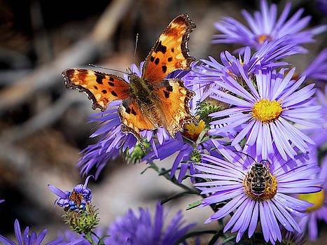 Mary Lee Dereske - Butterfly and Bee on Asters