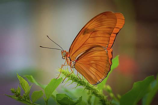 Butterfly, Delicate Wings... by Cindy Lark Hartman