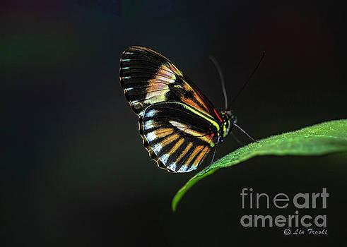 Butterfly on Black by Linda Troski