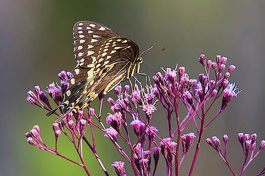 Butterfly on Wild Flowers by Bob Decker