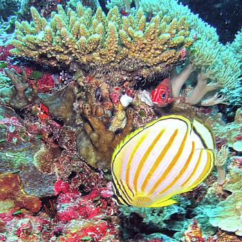 Susan Burger - Butterflyfish in Coiral