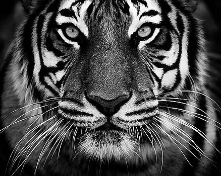 Bw Tiger Portrait by Fred Hood
