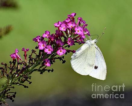 Cindy Treger - Cabbage White And Butterfly Bush