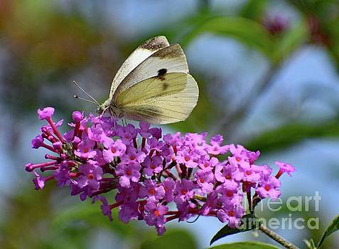 Cindy Treger - Cabbage White Butterfly