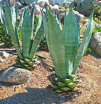 Cabo San Lucas Cactus by Emmy Marie Vickers
