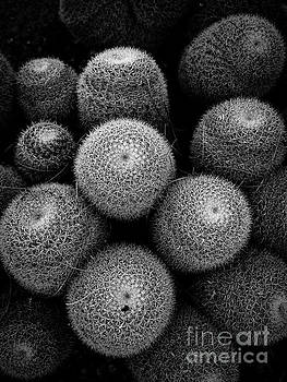 Cactus Black and White 5 by Edward Fielding