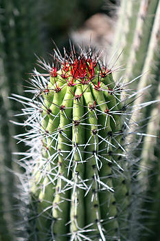 Cactus Bloom by David T Wilkinson