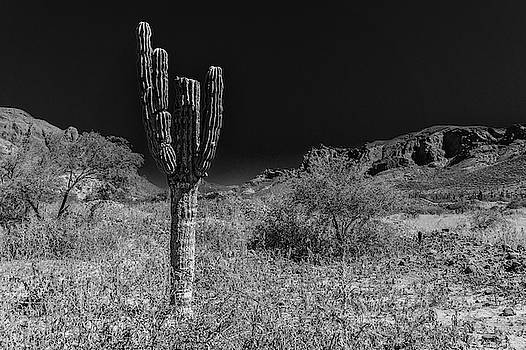 Cactus in the desert by Silvia Marcoschamer