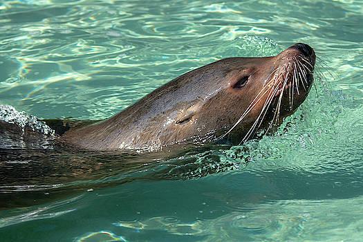 Calafornia Sea Lion landscape by Steev Stamford