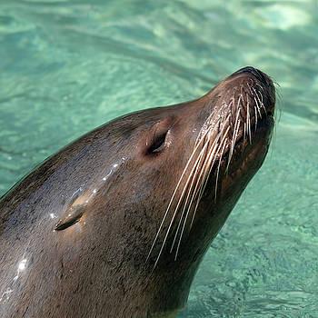 Calafornia Sea Lion square by Steev Stamford