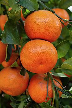 California Citrus Orange Grove by Kyle Hanson