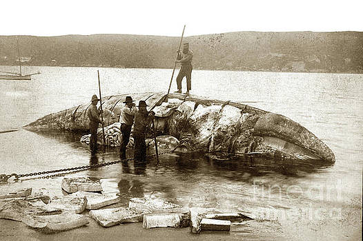 California Views Archives Mr Pat Hathaway Archives - California Gary Whale being cut up by Whalers on the beach in So