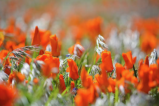 California Poppies  by Kyle Hanson