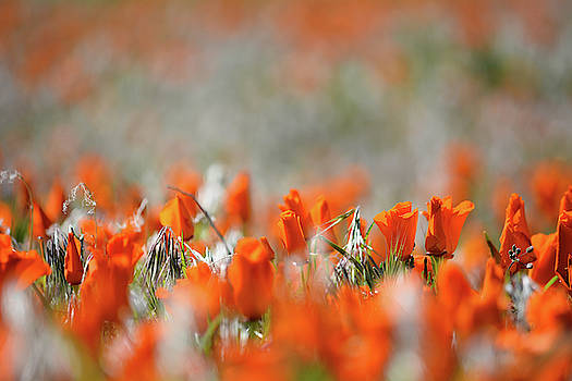 California Poppies Landscape by Kyle Hanson