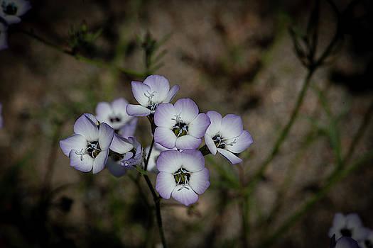 California Wildflowers by Khalid Mahmoud