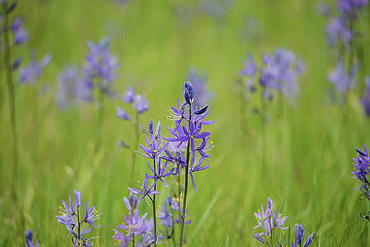 Whispering Peaks Photography - Camas Blue