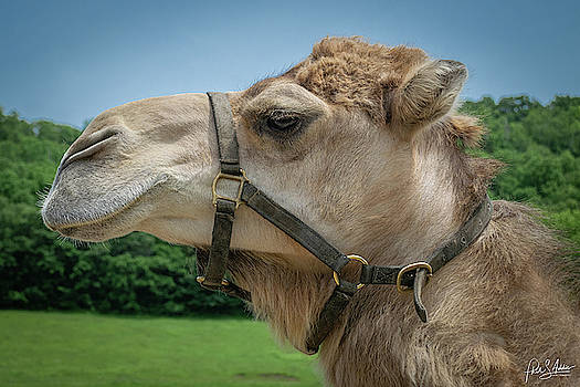 Camel Sighting by Phil S Addis