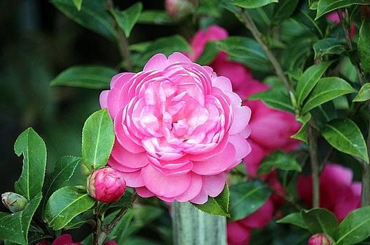 Camellia Joy by Cynthia Guinn