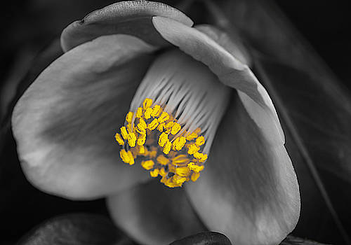 Camellia Yellow Selective Color by Keith Smith