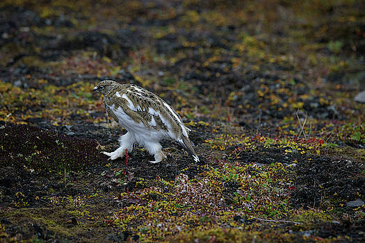 Camouflaged ptarmigan by Kai Mueller